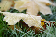 Frosted maple leaves on grass Royalty Free Stock Images