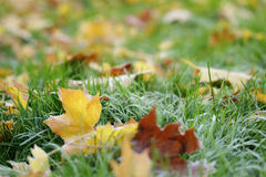 Frosted maple leaves on grass Stock Images