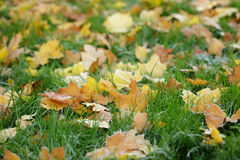 Frosted maple leaves on grass Royalty Free Stock Photography