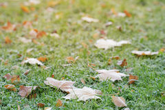 Frosted maple leaves on grass Royalty Free Stock Photos