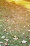 Frosted maple leaves on grass Stock Photo
