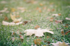 Frosted maple leaves on grass Royalty Free Stock Image