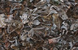 Frosted Mulberry Leaves Royalty Free Stock Photos