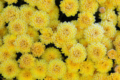 Frosted Mums Stock Photography
