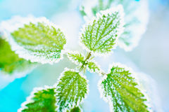 Frosted nettle Stock Images