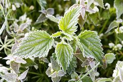 Frosted nettle Royalty Free Stock Image