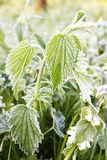 Frosted nettle Stock Photo