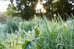 Frosted nettle Royalty Free Stock Photos