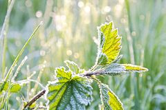 Frosted nettle Stock Photography