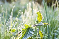 Frosted nettle Stock Photos