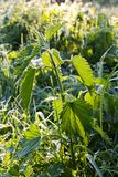 Frosted nettle Royalty Free Stock Photo