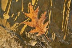 Frosted Oak Leaf. Resting on fresh lake ice and illuminated by golden light at sunrise Stock Photos