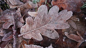 Frosted Oak Leaf. Close-up of frosted oak leaf on ground Royalty Free Stock Photo