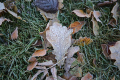 Frosted oak leaf Royalty Free Stock Photography