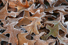 Frosted oak leaves Stock Photo