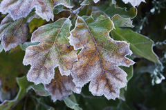 Frosted oak leaves. Stock Photo