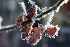 Frosted Oak Leaves. Leaves of an oak tree, covered with the white spikes of hoarfrost stock image