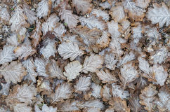 Frosted oak leaves Royalty Free Stock Image