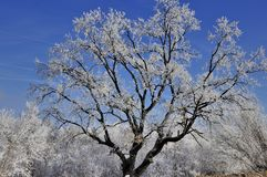 Frosted oak tree and blue sky Royalty Free Stock Photo