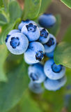 Frosted Pastel Blue Blueberry Cluster of Amazingness. A cluster of vivid frosted blue blueberries silently ripening on the bush awaiting to be picked and enjoyed stock images