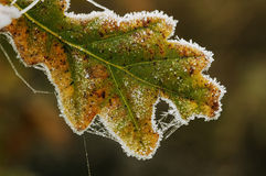Frosted Pedunculate Oak Leaf. Quercus robur Royalty Free Stock Photo