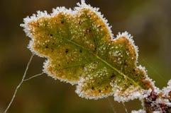 Frosted Pedunculate Oak Leaf. Quercus robur Stock Photo
