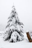 Frosted pine. Snow covered tree shrouded in fog Royalty Free Stock Photography