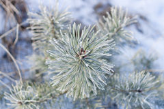 Frosted pine branch Royalty Free Stock Images