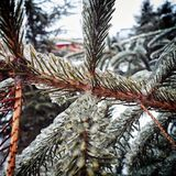 Frosted pine branch royalty free stock photos