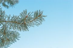 Frosted pine Stock Photo