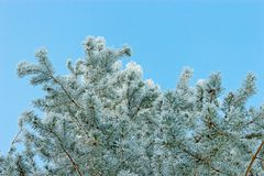 Frosted pine Stock Image