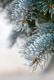 Frosted pine needles on tree Royalty Free Stock Images