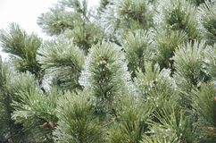 Frosted pine tree branches royalty free stock photos