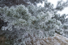 Frosted pine tree branches outside on cold winter day Royalty Free Stock Images