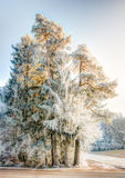 Frosted pine tree in a winter landscape Royalty Free Stock Photography