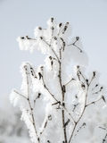 Frosted plant Royalty Free Stock Image