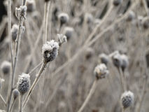 Frosted Plant Flower Bud in Winter Stock Photography