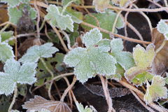 Frosted plant in a garden. During winter Royalty Free Stock Images