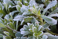 Frosted plant in a garden. During winter Royalty Free Stock Photo