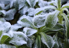 Frosted plant in a garden. During winter Stock Photography