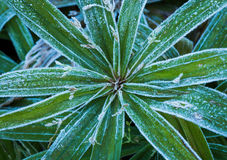 Frosted Plant Stock Image