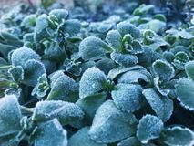 Frosted plant Stock Photo