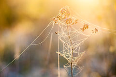 Frosted plants with cobweb Royalty Free Stock Images