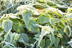 Frosted plants in the early morning Stock Photography