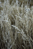 Frosted plants. Snow on plants in winter season Royalty Free Stock Photo