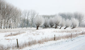 Frosted pollard willows in a wintry landscape Stock Photo