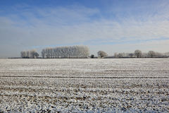 Frosted poplar trees Royalty Free Stock Photo