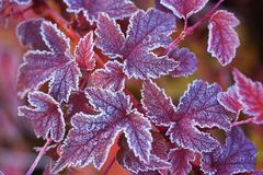 Purple frosted leaves of Physocarpus. Frosted purple leaves of Physocarpus opulifolius diabolo nine bark close up in autumn garden. Selective focus Royalty Free Stock Photos