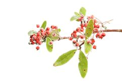 Frosted pyracantha Royalty Free Stock Photography