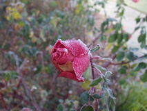 Frosted róża pączek Fotografia Royalty Free